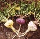 Maca: una mágica planta peruana