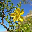 planta gobernadora