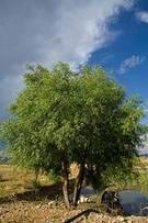 Árbol de sauce